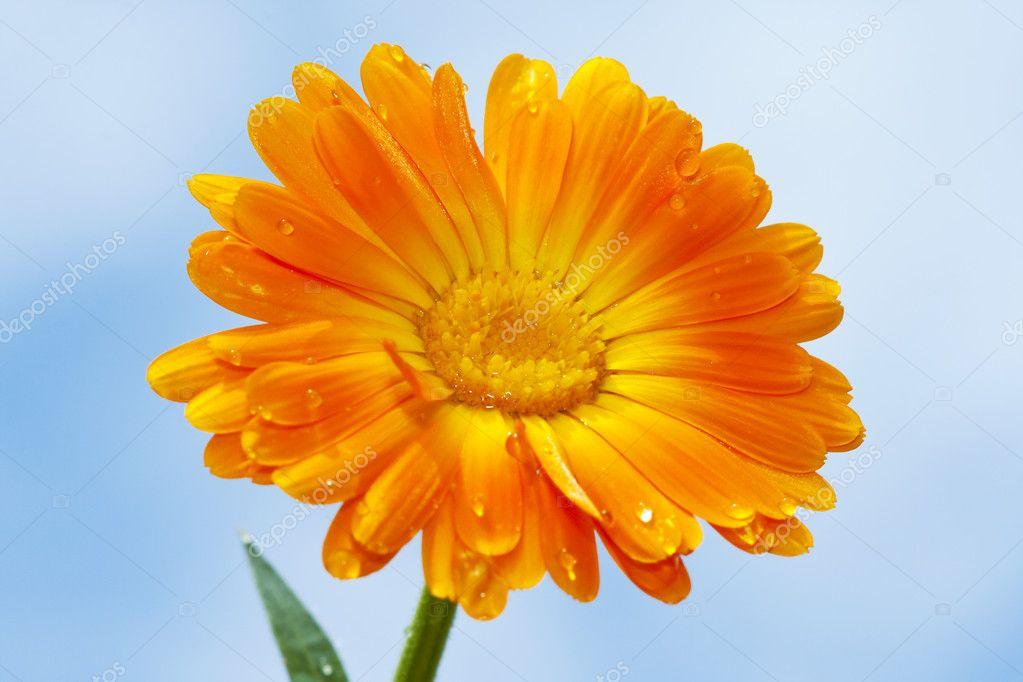 Orange gerbera against sky background
