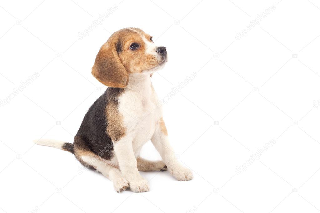 Beagle puppy sitting stock photo c feedough 2620118 for Puppy dog sitter