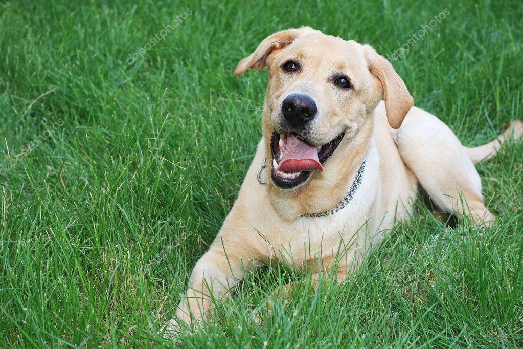 Golden retriever on grass