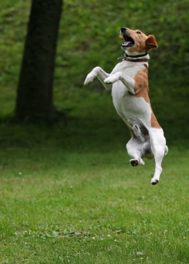 Happy dog jump into the air