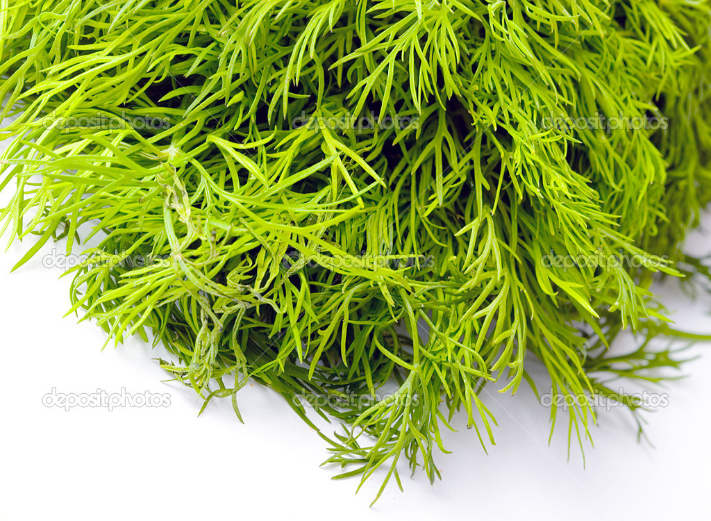 Fresh herb green dill over white