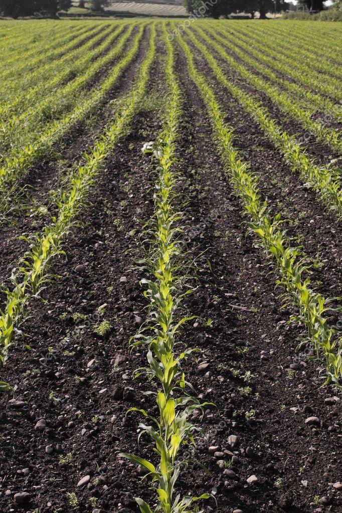 Corn seedlings crop field in spring