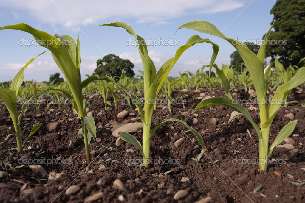 Corn seedlings crop field in spring