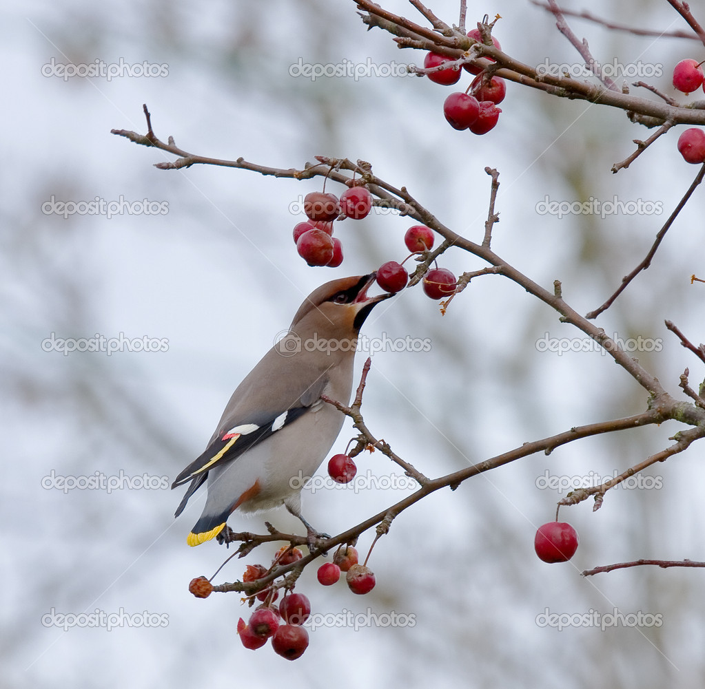 Bohemian Waxwing eating berry