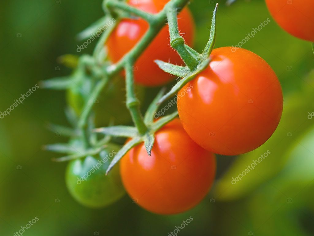 Red Ripe Tomatoes on the Vine