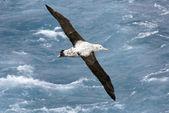 Fotografia albatross errante in volo