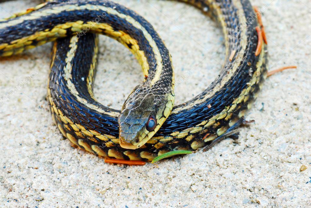 Garter snake on sand