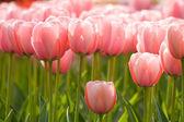 Fotografia un campo di tulipani rosa