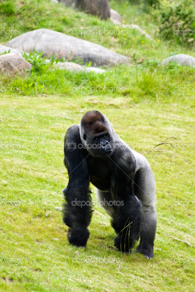 A silverback gorilla in the grass