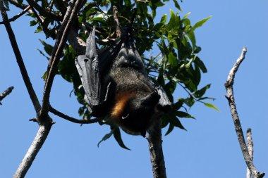 Bat male on the tree