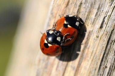 Ladybug - Coccinellidae