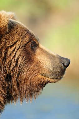 Profile of a Brown Bear