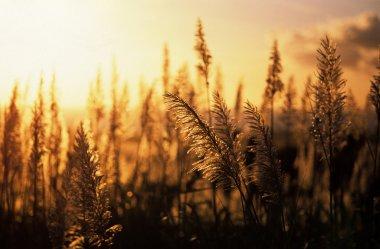 Sunset sugar cane