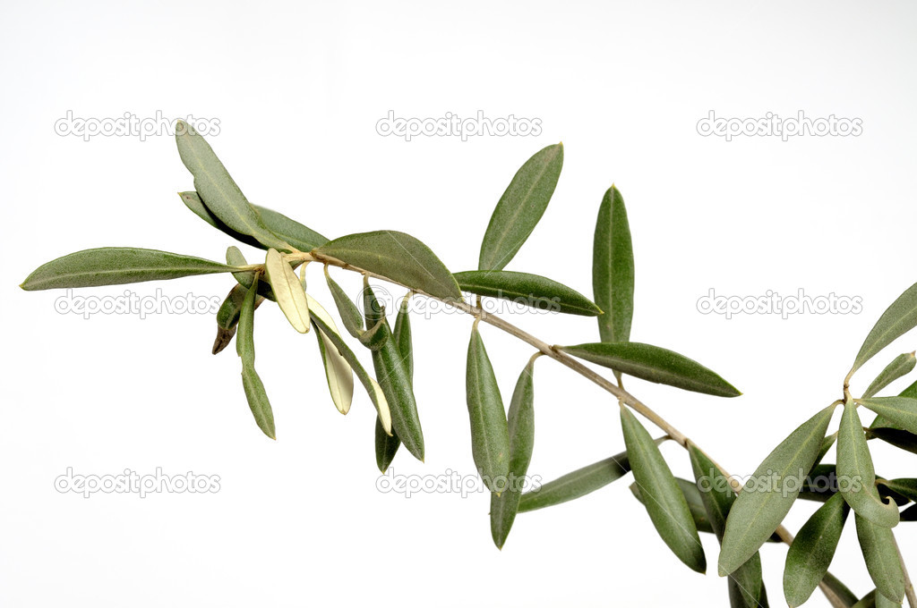 Olive branch symbol peace