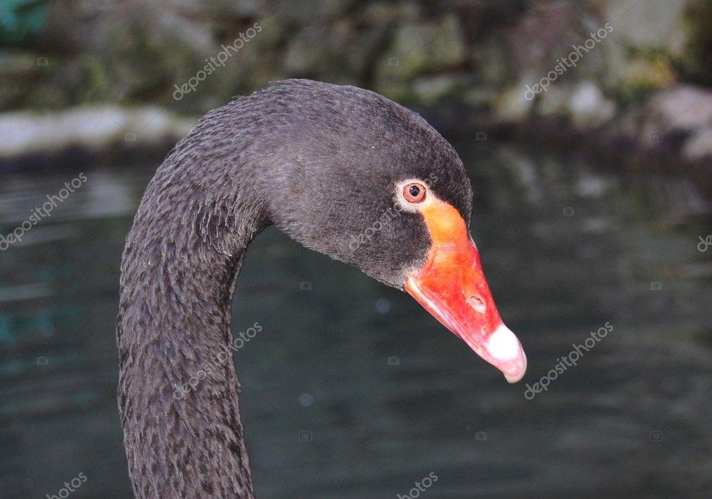 Velké dlouhé černé ptáky