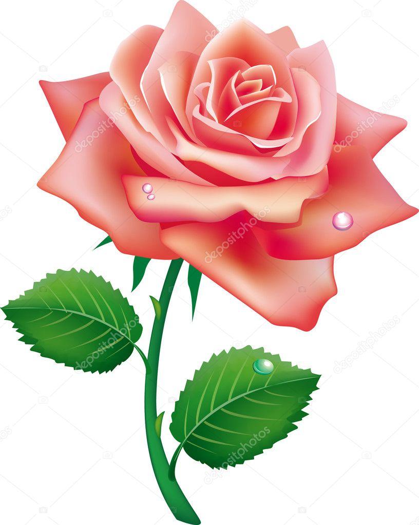 Illustration of single rose