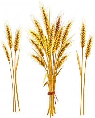 Spike of wheat