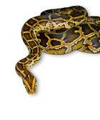 Fotografia primo piano del serpente pitone, isolato su bianco