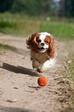 Dog running the ball