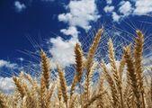 Fotografie pšenice