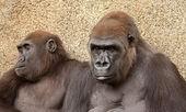 Photo Portrait of Two Gorillas