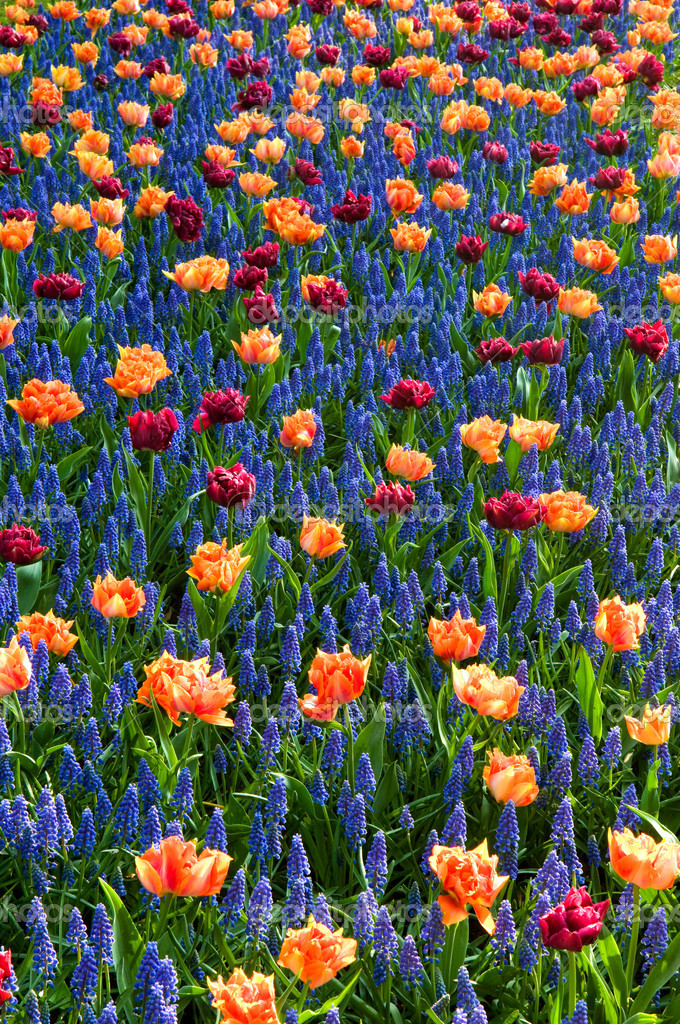 Red orange tulips common grape hyacinth