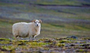 Iceland sheep