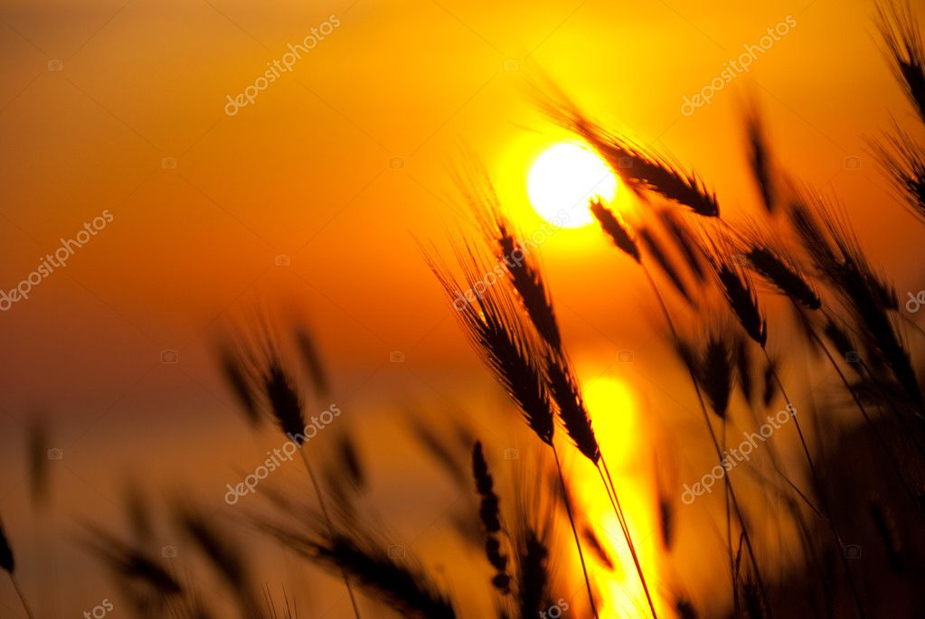 Wheat on a great summer sunset