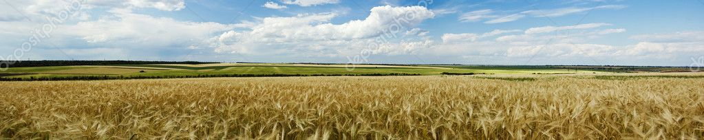 Panoramic view of wheat field