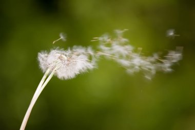 Dandelion on wind