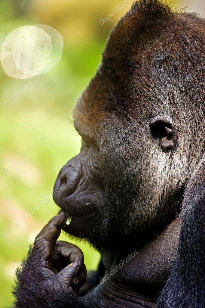 Gorilla is thinking of something