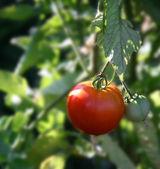 zralé rajče rostoucí