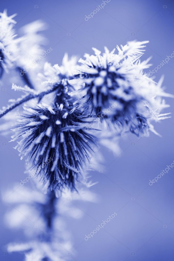 Frost Ice Crystals on Thistle Weed