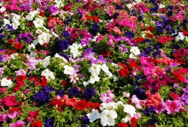 Petunia flower field