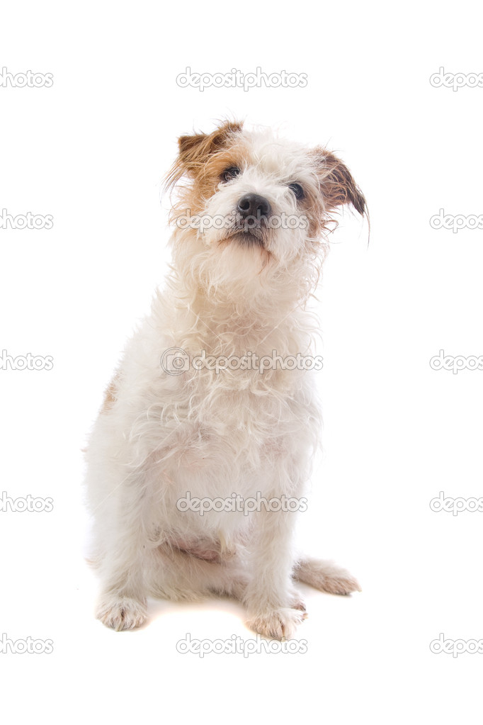 Langharige jack russel terrier hond stockfoto eriklam for Jack russel pelo lungo
