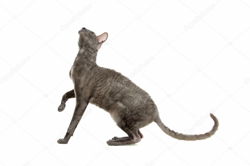big domestic cat