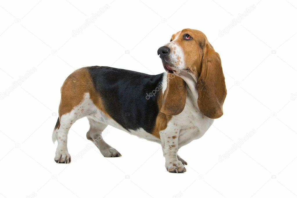 English basset dog hound stock photo eriklam 2584967 - Petit basset hound angers ...
