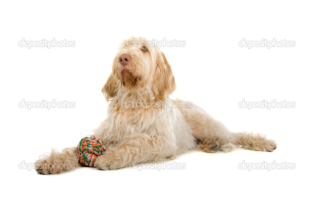 Spinone italiano, Italiaanse aanwijzer hond — Stockfoto ...