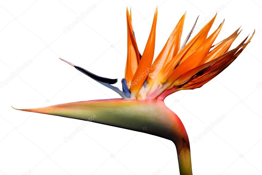 Isolated Bird of paradise flower