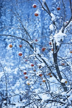 Apples on tree and first snow