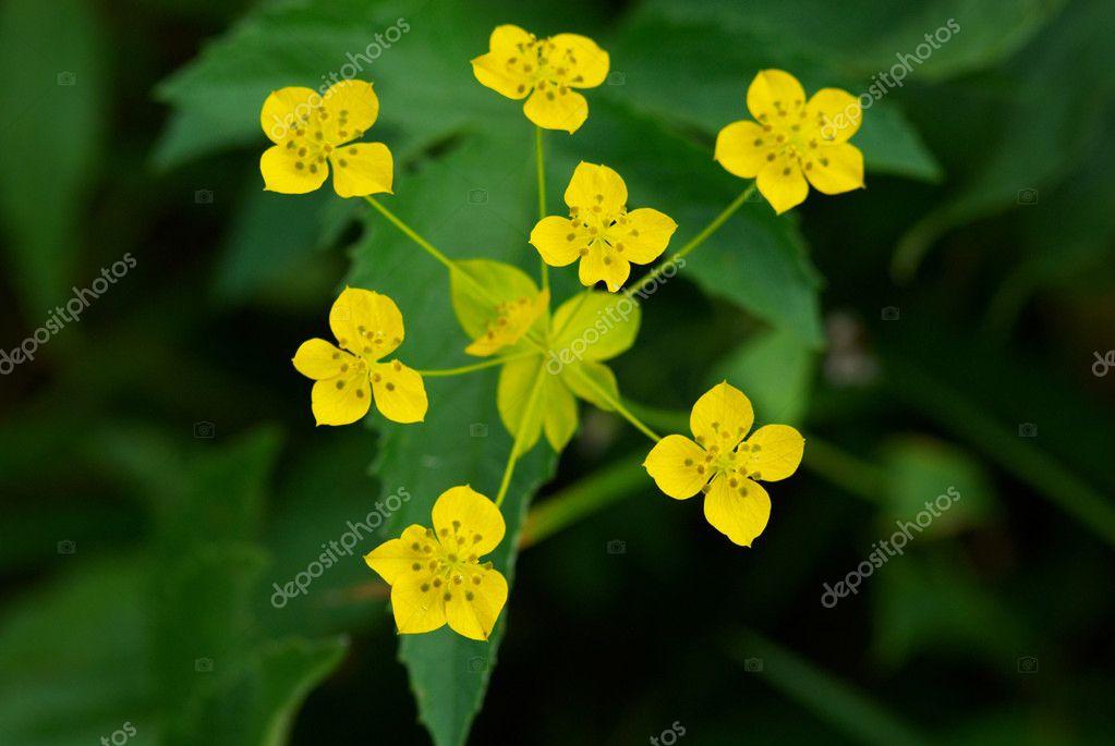 Many Small Wild Yellow Flowers Stock Photo Petrichuk 2686334