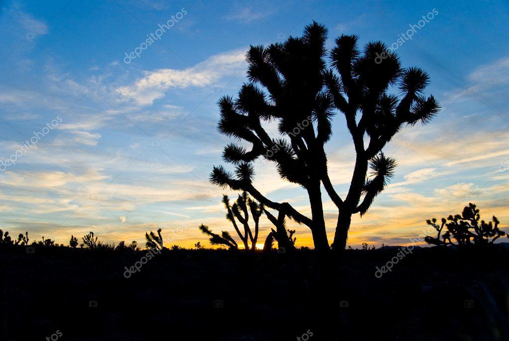 4f4ba53c09e Iconische joshua tree in silhouet tegen een woestijn zonsondergang in  majave woestijn in Californië — Foto van ...