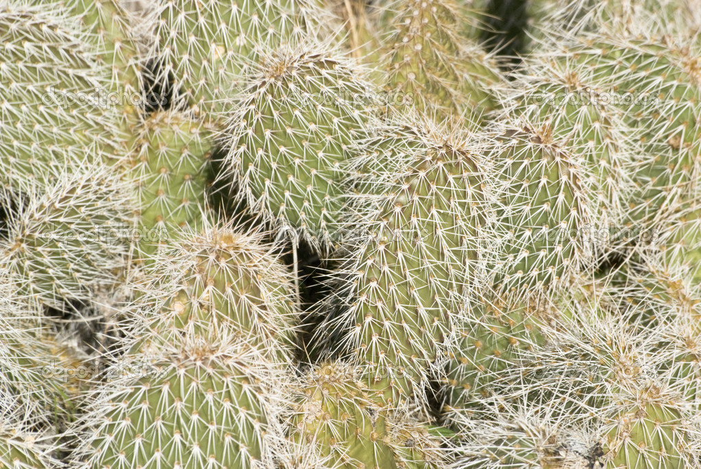 Prickly Pear Spines