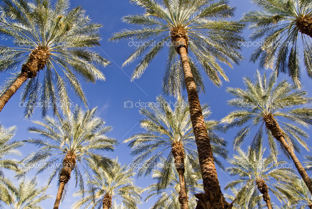 Date Palms on Blue