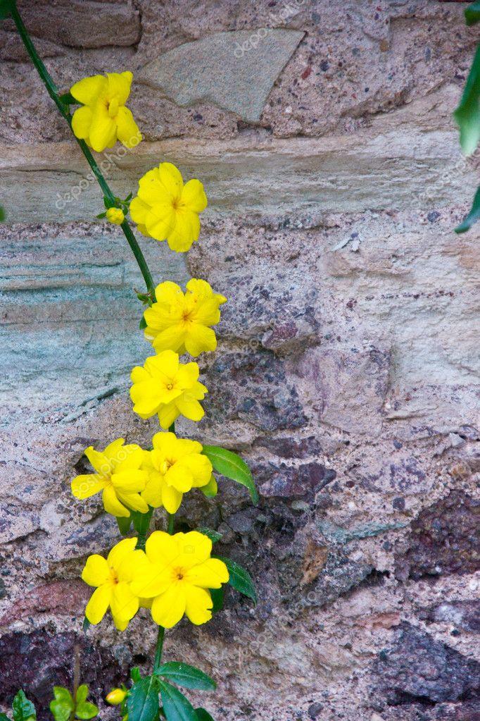 Yellow flowers on a vine stock photo woodkern 2628905 delicate yellow flowers on a vine against an old stone wall photo by woodkern mightylinksfo Choice Image