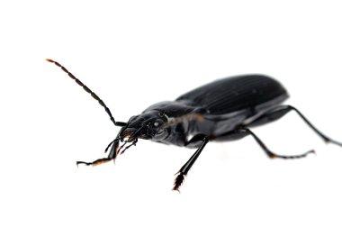 Black beetle very close up