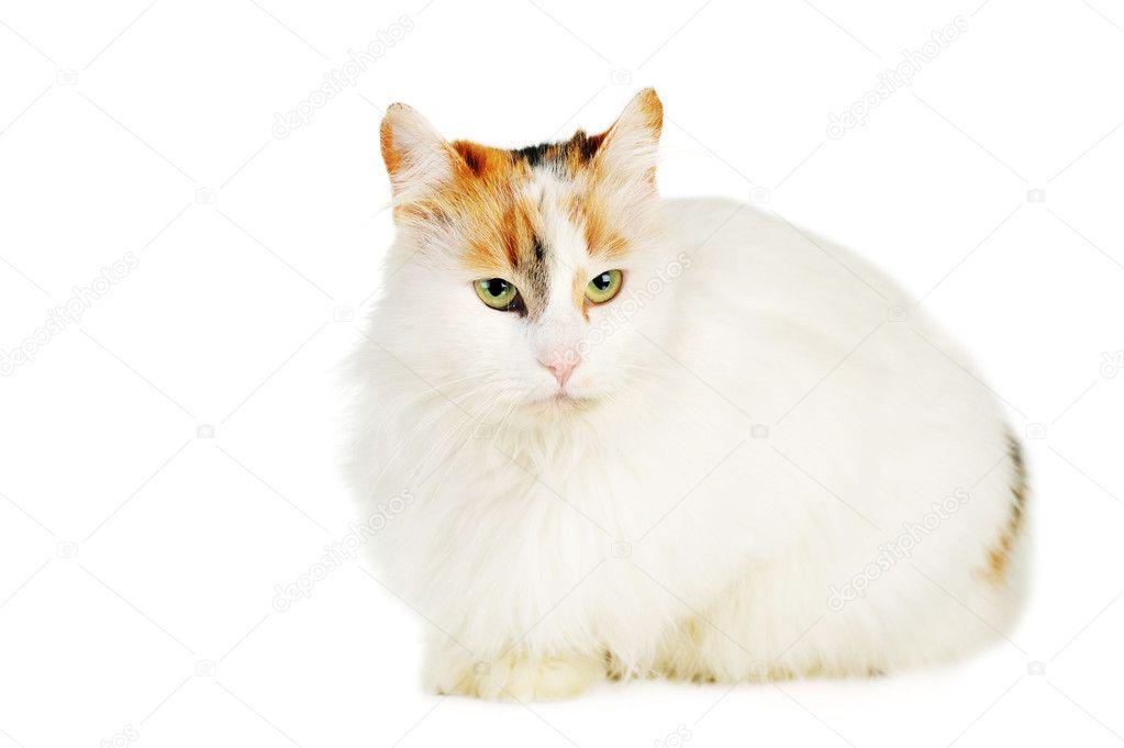 Biały Kot Z Rudy Plamy Zdjęcie Stockowe Taden1 2651190