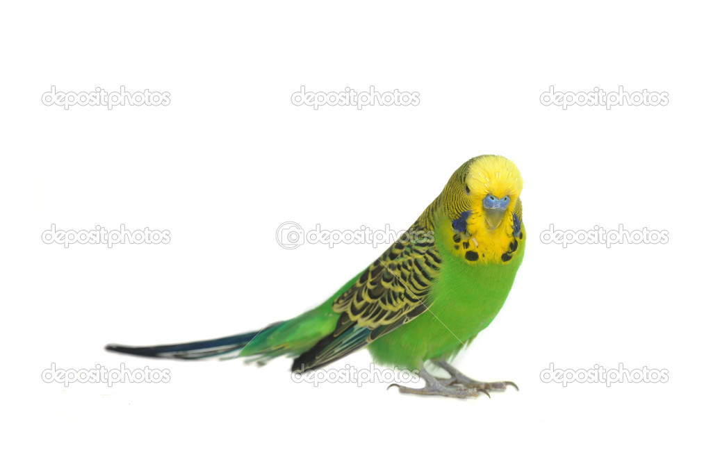Portrait of budgerigar — Stock Photo © Taden1 #2651529