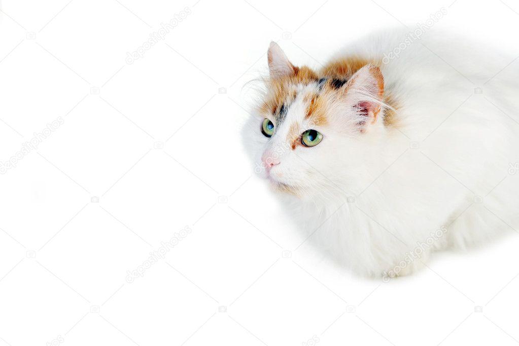 Biały Kot Z Rudy Plamy Zdjęcie Stockowe Taden1 2679041