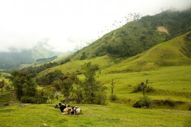 Cow in Cocora Valley